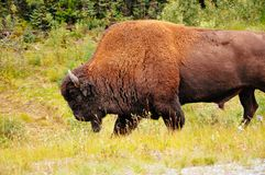 A large Bison walks on the side of a highway near the Yukon. A image of a large Bison walking on the side of a highway near the Yukon stock image