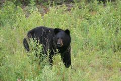 Large Black Bear. A large black bear from Northern British Columbia Royalty Free Stock Photography