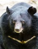 Large black bear Royalty Free Stock Images