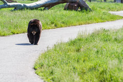 Large black bear Royalty Free Stock Photos