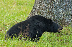 A large Black Bear eats walnuts on the ground. Royalty Free Stock Photo