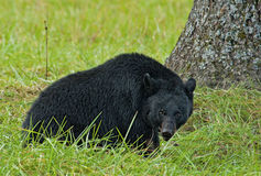 A large Black Bear eats walnuts on the ground. Royalty Free Stock Photography