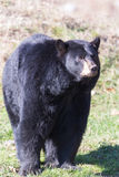 A large black bear Royalty Free Stock Photos