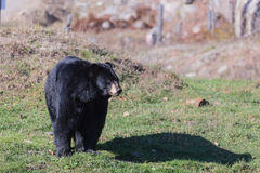 A large black bear Royalty Free Stock Photography