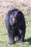 A large black bear Royalty Free Stock Photo