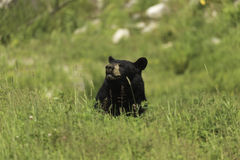 A large Black Bear in a grassy field Royalty Free Stock Image