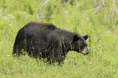 A large Black Bear in a grassy field Stock Photography