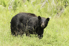 A large Black Bear in a grassy field Stock Photos