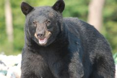 Black bear on a garbage dump royalty free stock photography