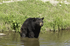 A large Black Bear in some water Stock Images