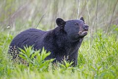 Massive male Black Bear in Cades Cove sniffs the wind. royalty free stock images