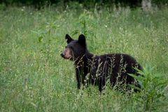 Large black bear walking through a field of tall grass. Stock Images