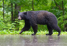 Large Black Bear walking on pavement in the rain. Royalty Free Stock Images