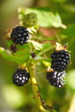 Large black berries garden blackberries, growing a brush on the background of green foliage on the branches of a bush. Stock Photography
