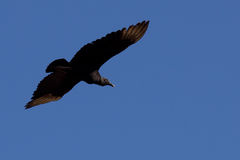 Large black bird flying. Large black bird with wings spread in flight and a blue sky background Royalty Free Stock Images