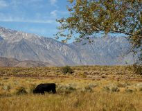 Large black bull in the Eastern Sierras Royalty Free Stock Images