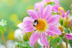 Large black bumble bee collects nectar on a dahlia. Stock Photography