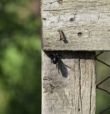 Large black bumble bee on a wooden fence. Black hairy insect Stock Photo