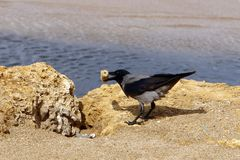 The crow sits on the seashore Royalty Free Stock Photography