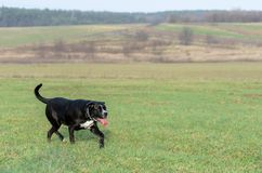A large, black, dangerous dog is running across the autumnal winter field. Amstaff Mix. A large, black, dangerous dog running across the autumnal winter field Stock Image
