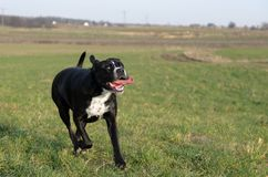A large, black, dangerous dog is running across the autumnal winter field. Amstaff Mix. A large, black, dangerous dog running across the autumnal winter field Royalty Free Stock Images