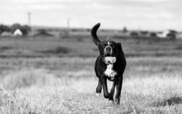 A large, black, dangerous dog is running across the autumnal winter field. Amstaff Mix. A large, black, dangerous dog running across the autumnal winter field Royalty Free Stock Photo