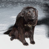 Large black dog on a chain Stock Photo
