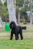 Large black dog ready for fun Royalty Free Stock Photography
