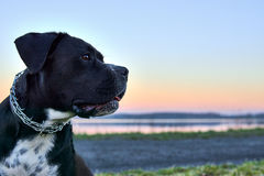 Large black dog stands on shore of the lake, sunset in the background. Stock Image