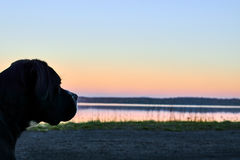 Large black dog stands on shore of the lake, sunset in the background. Stock Photos