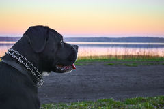 Large black dog stands on shore of the lake, sunset in the background. Royalty Free Stock Photography