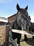 Large black draft horse Stock Photos