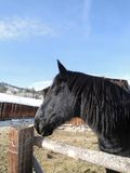 Large black draft horse Stock Image