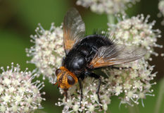 Large black fly on a flower. Large black fly with a yellow head (Tachina grossa) sits on a flower royalty free stock images