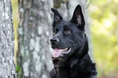 Large black German Shepherd mix breed dog, pet rescue Royalty Free Stock Photography
