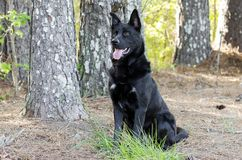 Large black German Shepherd mix breed dog sitting, pet rescue. Large unneutered male black German Shepherd Rottweiler mixed breed dog on leash outdoors in pine Stock Photo
