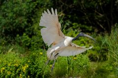 Large black-headed Ibis spreads its wings to land stock photo