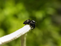 Large black Jumping Spider Stock Images