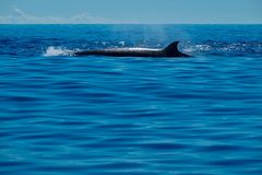 Large black northern bottlenose whale Stock Image