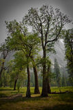 Large black oak trees in Yosemite Valley meadow. Oak trees under a hazy afternoon sky in Yosemite valley Stock Photos