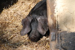 Large Black pig. A floppy eared Large Black breed of pig looks round the door of its pen Royalty Free Stock Photo