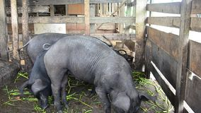 Large Black Pig eating at farm in Pattalung, Thailand. This VDO shooting location at Pattalung province of southern Thailand stock video