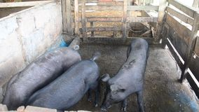 Large Black Pig eating at farm in Pattalung, Thailand. stock video footage