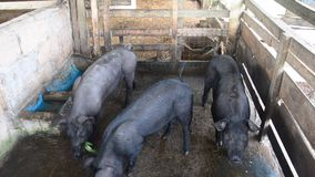 Large Black Pig eating at farm in Pattalung, Thailand. This VDO shooting location at Pattalung province of southern Thailand stock video footage