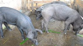 Large Black Pig eating at farm in Pattalung, Thailand. This VDO shooting location at Pattalung province of southern Thailand stock footage