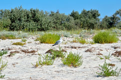 Large Black Sea seagulls in the natural habitat Royalty Free Stock Photos