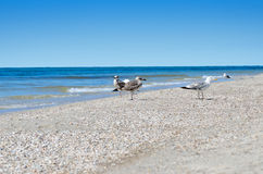 Large Black Sea seagulls in the natural habitat Royalty Free Stock Photography