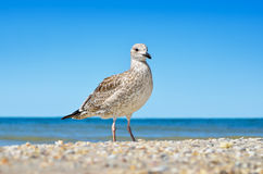 Large Black Sea seagulls in the natural habitat Stock Photo