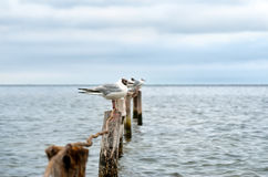 Large Black Sea seagulls in the natural habitat Royalty Free Stock Photo