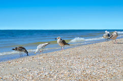 Large Black Sea seagulls in the natural habitat Royalty Free Stock Images